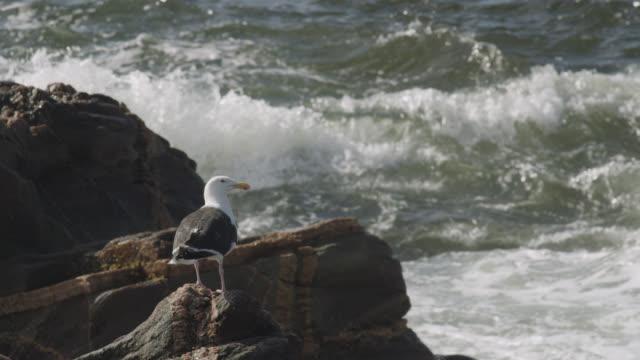 "black backed gull takes off, nova scotia, canada - ""bbc natural history"" stock videos & royalty-free footage"