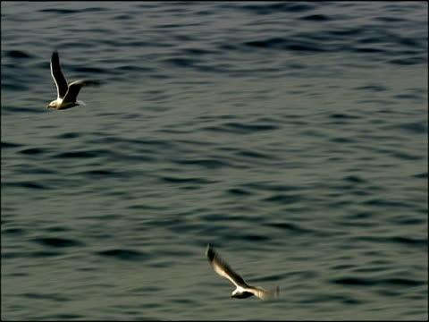 black backed herring gulls (larus marinus) flying over waves, high angle shot, cerro gordo, granada province, andalucia, spain - gespreizte flügel stock-videos und b-roll-filmmaterial