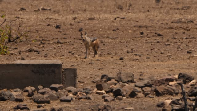 black backed jackal in the distant - heatwave stock videos & royalty-free footage