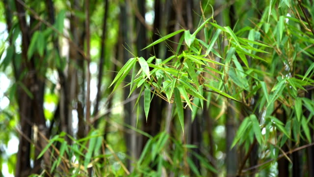 black bamboo leaf. - bamboo shoot stock videos & royalty-free footage