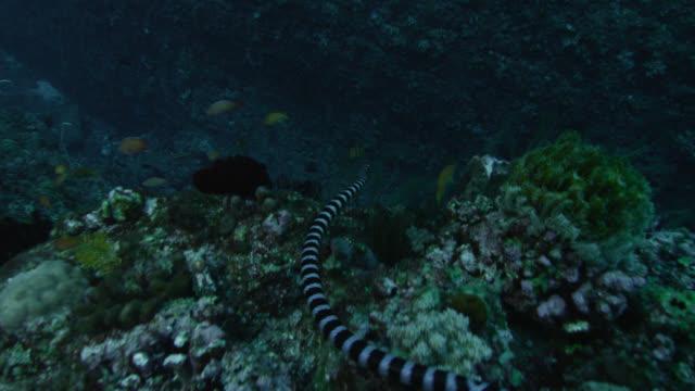 Black banded sea krait (Laticauda semifasciata) swims over corals by lyretail anthias (Pseudanthias squamipinnis) at Yonaguni monument. Japan