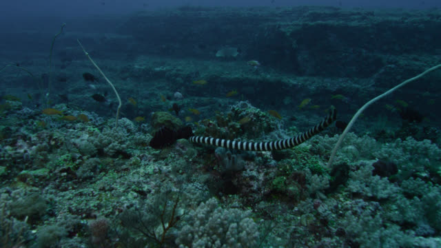 vídeos de stock, filmes e b-roll de black banded sea krait (laticauda semifasciata) swims over corals by lyretail anthias (pseudanthias squamipinnis). japan - grupo médio de animais
