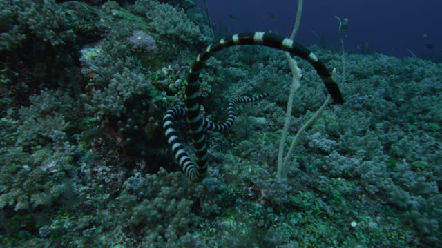 Black banded sea krait (Laticauda semifasciata) swims over corals. Japan