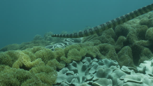 Black banded sea krait (Laticauda semifasciata) swims over sea anemones (Stichodactyla species). Japan