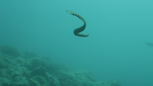 Black banded sea krait (Laticauda semifasciata) swims over sea bed. Japan.