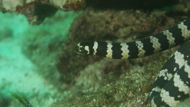 Black banded sea krait (Laticauda semifasciata) swims over sea bed. Japan