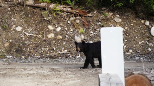 schwarzer bär 1 - angesicht zu angesicht stock-videos und b-roll-filmmaterial
