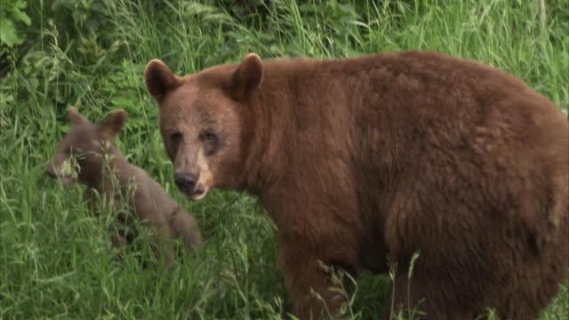 Black bear (Ursus americanus) and cubs, Riding Mountain, Manitoba, Canada