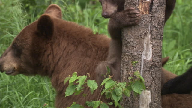 black bear (ursus americanus) and cubs, riding mountain, manitoba, canada - マニトバ州点の映像素材/bロール