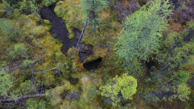 vidéos et rushes de black bear at boreal forest at trans-taiga road in northern quebec - province du québec