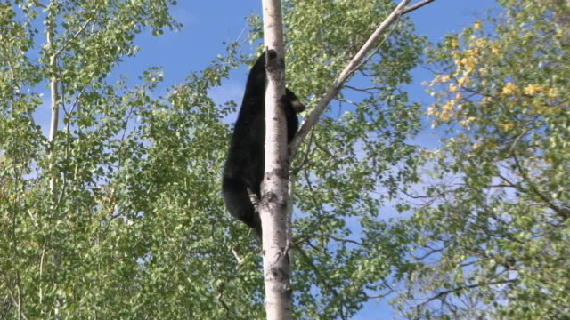 ws zi ts td black bear climbing birch tree / squamish, british columbia, canada  - squamish stock videos & royalty-free footage