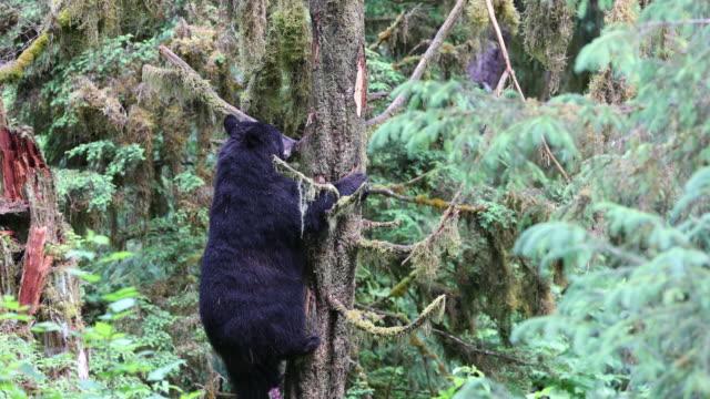 A Black Bear (Ursus americanus) climbing down a tree, looking up at a cub (offscreen).