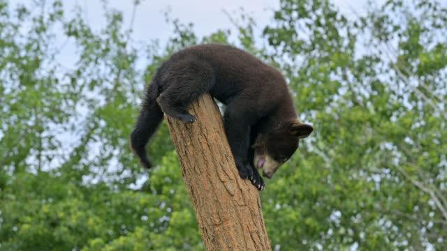 vídeos de stock, filmes e b-roll de black bear, climbs on tree trunk - animal hair