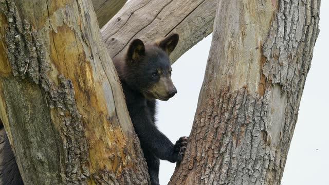 black bear, climbs on tree trunk - animal hair stock videos & royalty-free footage