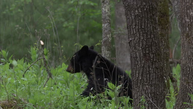 stockvideo's en b-roll-footage met a black bear crouches at the base of a tree and munches on a leafy branch. - foerageren