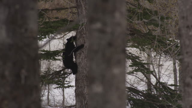 a black bear cub climbing a tree - brown stock videos & royalty-free footage