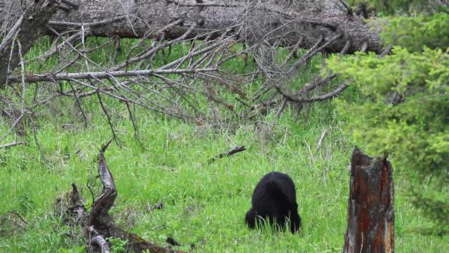 MS Black bear cub of year falling off tree limb / Yellowstone, Wyoming, United States