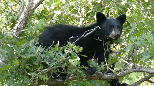 black bear cub auf der tree top essen selbst noch in littleton, colorado - bärenjunges stock-videos und b-roll-filmmaterial