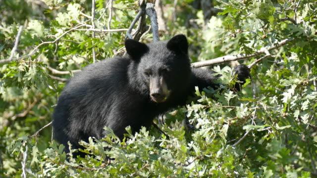 black bear cub on tree top eating acorns littleton colorado - bear cub stock videos and b-roll footage