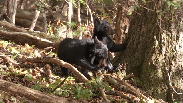 black bear cubs explore an appalachian forest. - raubtierjunges stock-videos und b-roll-filmmaterial