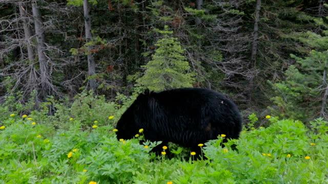 Black Bear Feeding in Meadow.