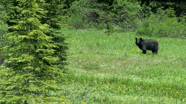 MS Black bear fiding grass at Icefields Parkway / Banff Nationalpark, Alberta, Canada