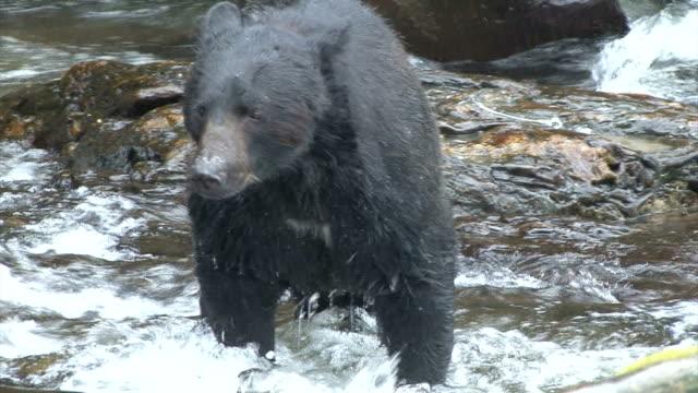 ms ts zi zo black bear (ursus americanus) fishing for salmon in rushing river / ketchikan, alaska, united states - two animals stock videos and b-roll footage
