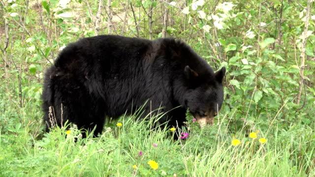 Black bear grazes flower field along Klondike Highway Yukon