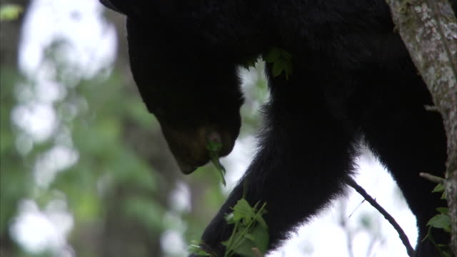 a black bear holds leaves in a paw and munches on them. - sopravvivenza video stock e b–roll