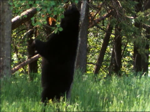 profile black bear in forest leaning against small tree trunk on hind legs scratching back + head - bear stock videos and b-roll footage