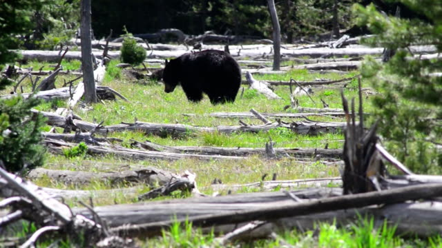black bear in teton national park, wyoming - foraging stock videos & royalty-free footage
