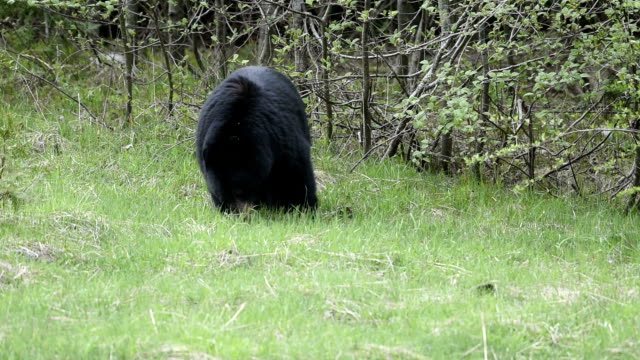 black bear in the wild - foraging stock videos & royalty-free footage