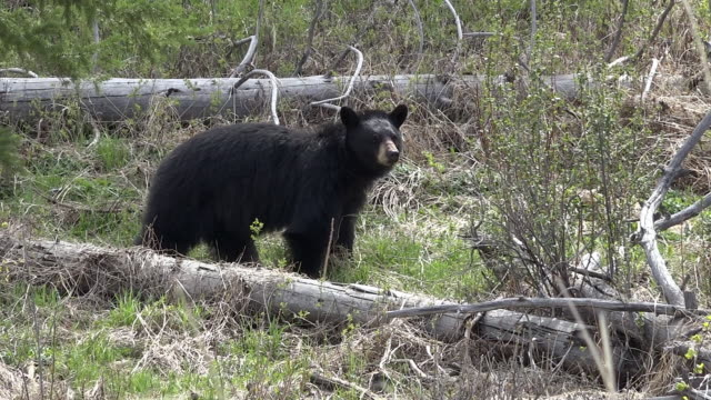 Black bear male, Spring in Yellowstone National Park, Wyoming