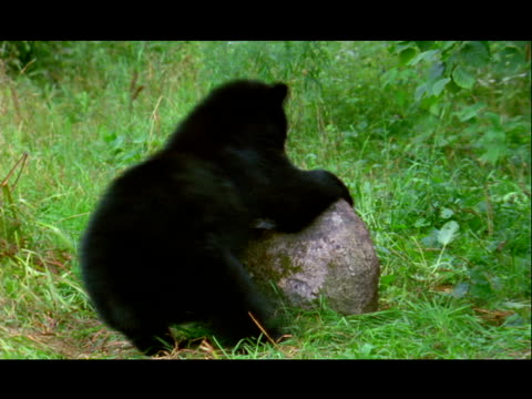 a black bear moves a large rock to reach the insects underneath. - invertebrate stock videos & royalty-free footage