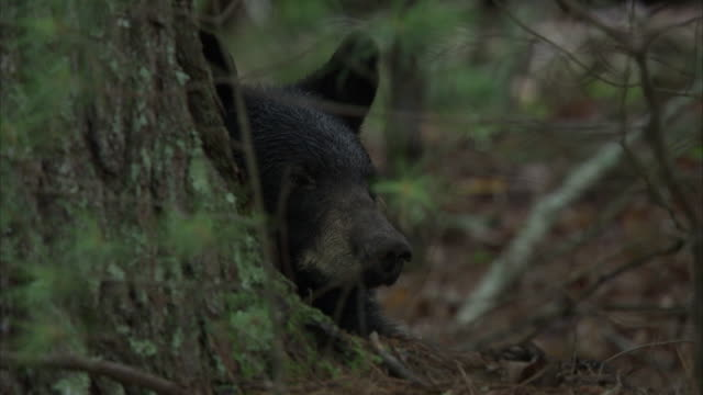 a black bear rests behind a tree trunk. - appalachia stock videos & royalty-free footage