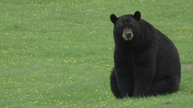 MS of black bear sitting and watching