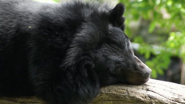 Black bear sleeping on tree