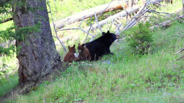 ms black bear sow with two cubs playing under tree  / yellowstone, wyoming, united states - liten djurflock bildbanksvideor och videomaterial från bakom kulisserna