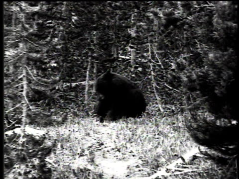 1916 montage black bear / united states - anno 1916 video stock e b–roll