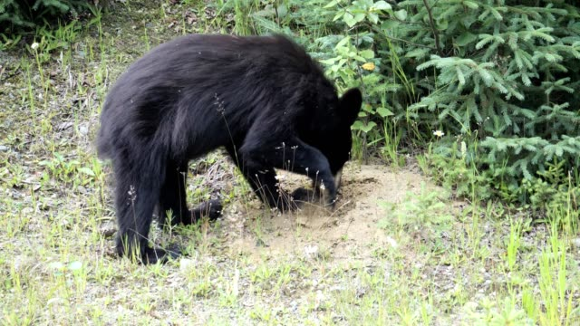 black bear - animals in the wild stock videos & royalty-free footage