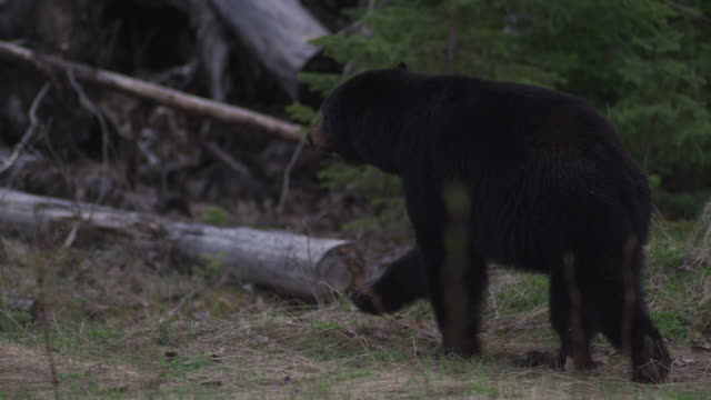 black bear walking in the canadian woods - 4k resolution stock videos & royalty-free footage