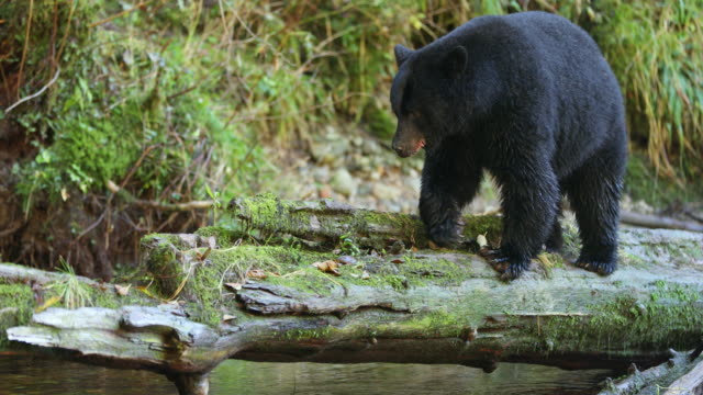 black bear (ursus americanus) walks across a log - kanada stock-videos und b-roll-filmmaterial
