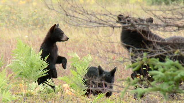 black bears eating wild blueberries - 肉食哺乳動物の子点の映像素材/bロール