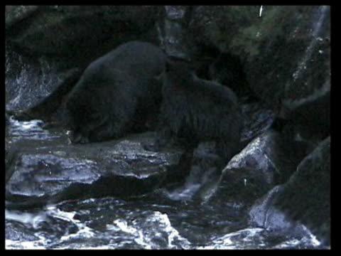 vídeos y material grabado en eventos de stock de ms black bears standing by river, hunting fish  - grupo pequeño de animales