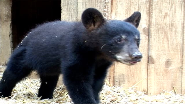 black bears threatened by bear skin hunting; canada: ontario: nr rousseau: aspen valley sanctuary: ext black bear cubs in straw-covered enclosure - enclosure stock videos & royalty-free footage