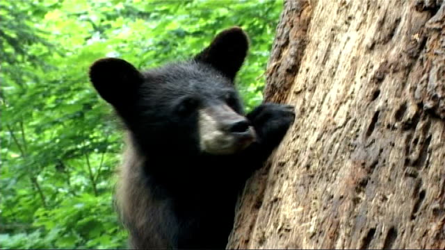 black bears threatened by bear skin hunting ontario nr rousseau aspen valley sanctuary tony grant interview sot they've lost their mum their going to... - aspen tree stock videos & royalty-free footage