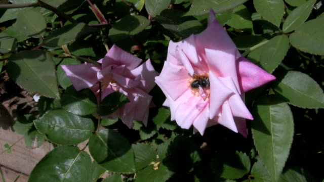 Black Bee Collecting Pollen on Pink Rose