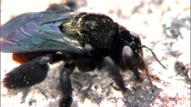 a black bee investigates a rock. - gliedmaßen körperteile stock-videos und b-roll-filmmaterial
