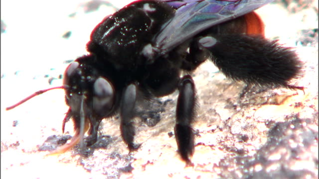 a black bee investigates rocky ground. - gliedmaßen körperteile stock-videos und b-roll-filmmaterial