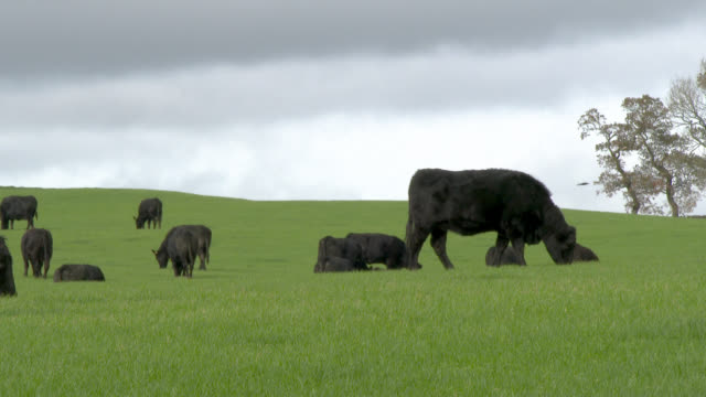 Black beef cattle in a field in Dumfries and Galloway